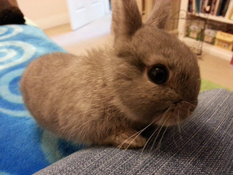 Conejo enano marr n im genes y fotos - Casas para conejos enanos ...