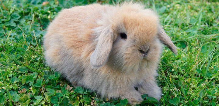Conejos belier - Casas para conejos enanos ...