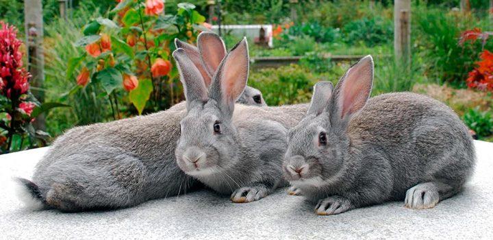 Conejos Chinchilla