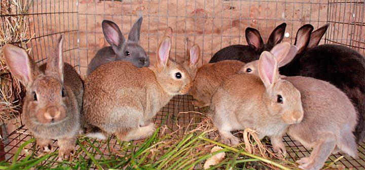 Conejos de Nueva Zelanda