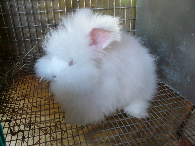 Cría de conejo angora :: Imágenes y fotos