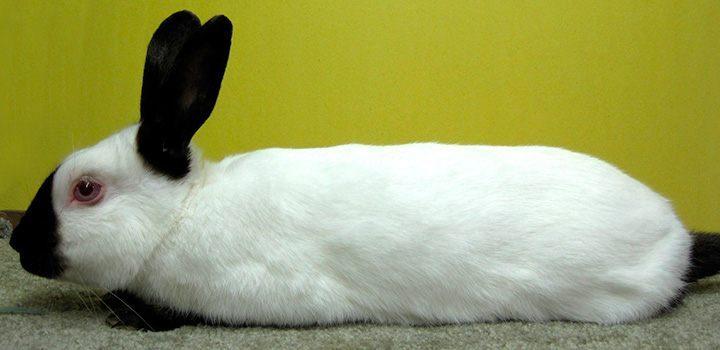 CALIFORNIAN (CALIFORNIANO) : Conejos y conejos Enanos